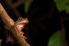 Tropischer Amazonas-RegenBaum- des Waldesfrosch lizenzfreies stockfoto