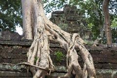 Tropischer Baum, der über Steinen wächst Stockfotos