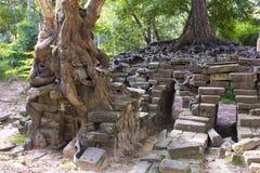 Tropischer Baum, der über Steinen wächst Stockfoto