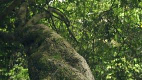Tropischer Baum des Stammes und grünes Laub im tropischen Regenwaldabschluß oben Ameiseninsekten, die auf Baumstamm im Dschungel  stock video footage