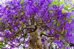 Tropischer Baum mit purpurroten Blumen Stockfoto