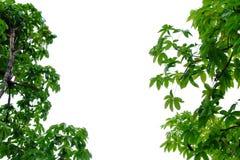 Tropischer Baum verl?sst auf wei?em lokalisiertem Hintergrund lizenzfreie stockbilder
