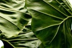 Tropischer Blattbeschaffenheitshintergrund, Streifen des dunkelgrünen Laubs Stockbild