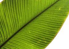 Tropischer Blattdetailgrün-Beschaffenheitshintergrund Lizenzfreies Stockbild