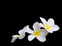 Tropischer Blumen Frangipani auf Schwarzem Lizenzfreies Stockfoto