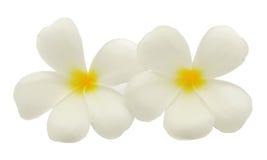 Tropischer Blumen Frangipani (Plumeria) Lizenzfreie Stockfotos