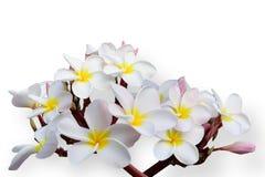 Tropischer Blumen Frangipani (Plumeria) Lizenzfreie Stockbilder