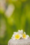 Tropischer Blumen Frangipani, Plumeria unter Grün Stockfotos