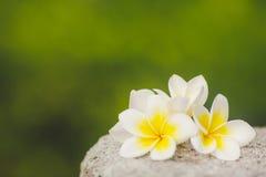 Tropischer Blumen Frangipani, Plumeria unter Grün Lizenzfreie Stockfotografie