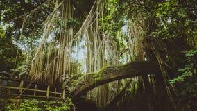 Tropischer Dschungel wurzelt das Hängen unten über der Brücke vom enormen Baum am heiligen Affen Forest Sanctuary, Ubud, Bali Lizenzfreies Stockfoto