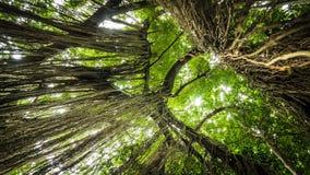 Tropischer Dschungel wurzelt das Hängen unten vom enormen Baum am heiligen Affen Forest Sanctuary, Ubud, Bali, Indonesien Lizenzfreie Stockbilder