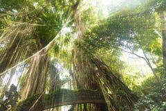 Tropischer exotischer Regen heiliger Affe-Walddschungel auf Asiaten Bali I Lizenzfreies Stockfoto