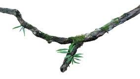 Tropischer feuchter Wald-epiphytes Farn, Moos und Flechte wachsen auf dem alten verwitterten Dschungelbaumast, der auf weißem bac lizenzfreies stockfoto