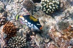 Tropischer Fisch schwimmt in das Meer gegen Korallen Stockfotografie