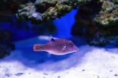 Tropischer Fisch schwimmt nahe Korallenriff Lizenzfreies Stockbild