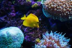 Tropischer Fisch schwimmt nahe Korallenriff Lizenzfreies Stockfoto