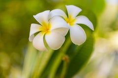Tropischer Frangipani auf unscharfem Naturhintergrund Sonniges tropisches Wetter, weiße Plumeriablumen stockbild