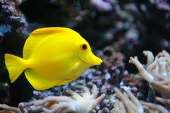 Tropischer gelber Geruch auf einem Korallenriff Stockfotografie