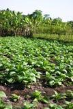 Tropischer Gemüsebauernhof Stockbild