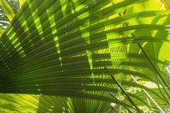 Tropischer grüner Palmblatthintergrund des Details Lizenzfreies Stockbild