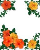 Tropischer Hibiscus blüht Hintergrund Stockfoto