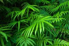 Tropischer Hintergrund des grünen Laubs der Farnblätter. Regenwald Stockfotografie