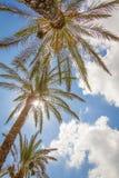 Tropischer Hintergrund von Palmen über einem blauen Himmel Stockbild