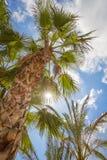 Tropischer Hintergrund von Palmen über einem blauen Himmel Lizenzfreie Stockbilder