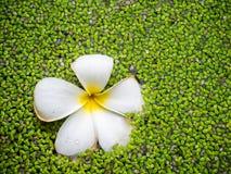 Tropischer Jasminblume Plumeria und Wasserfarn Lizenzfreies Stockfoto