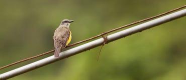 Tropischer Kingbird auf einem Draht Stockfotografie