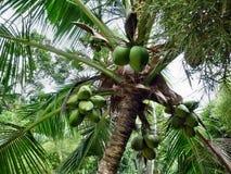 Tropischer Kokosnuss-Baum Keralas Stockfotografie