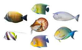 Tropischer korallenroter Fische Angelfish getrennt Lizenzfreies Stockbild