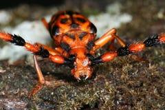 Tropischer lang-gehörnter Käfer Stockfotografie
