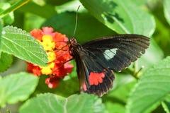 Tropischer Lat Schmetterling Papilio Rumyantsev Papilio Rumanzovia auf der Blume von Lantana Lat Lantana lizenzfreie stockbilder