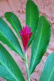 Tropischer magentaroter Ginger Flower Lizenzfreie Stockfotos
