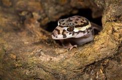Tropischer mit einem Band versehener Gecko fotografiert in Costa Rica lizenzfreies stockbild