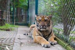 Tropischer orange gestreifter Tiger Resting im Tiger-Tempel Thailand Lizenzfreie Stockbilder