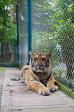 Tropischer orange gestreifter Tiger Standing in Tiger Temple Thailand Lizenzfreies Stockbild