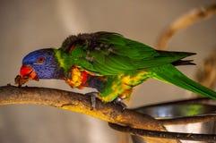 Tropischer Papageienvogel, der auf einem Ast isst lizenzfreie stockfotografie