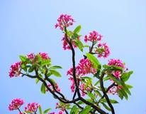 Tropischer Plumeria-Baum Stockfotos