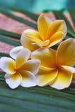 Tropischer Plumeria blüht auf einem Holztisch im Badekurort Lizenzfreie Stockbilder