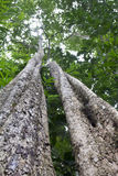 Tropischer Regenwaldbaum Stockfoto