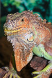 Tropischer Reptil Leguan stockfotos