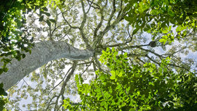 Tropischer riesiger Baum Lizenzfreies Stockfoto
