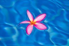 Tropischer rosa Frangipani Lizenzfreie Stockfotografie