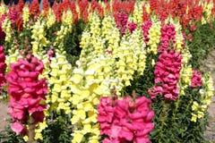 Tropischer Salbei des Gelbs und des Rosas, luftgetrockneter Ziegelstein rgb stockfoto