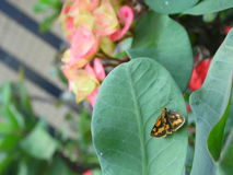 Tropischer Schmetterling Lizenzfreies Stockfoto