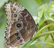 Tropischer Schmetterling Lizenzfreie Stockfotos