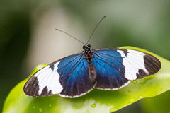 Tropischer Schmetterling, passionfalter, cydno Stockfotografie