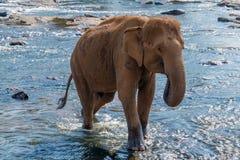 Tropischer Sommer Asien-Elefanten im Fluss Ceylon, Sri Lanka Lizenzfreie Stockfotos